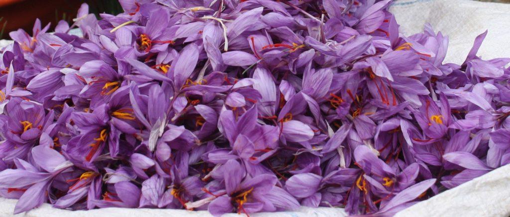 SAFFRON_FLOWERS_safran_mpaxarika_krokos_kozanh_gastronomia